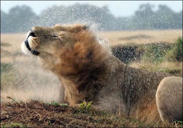 Lion sous la pluie, Didier Coupeau