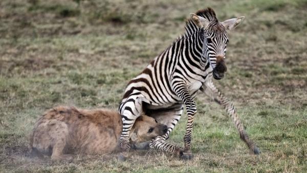 Attaque de hyène sur zèbre, Didier Coupeau
