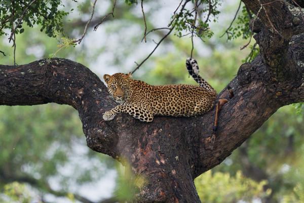 Léopard parc Kruger, Michel Queron