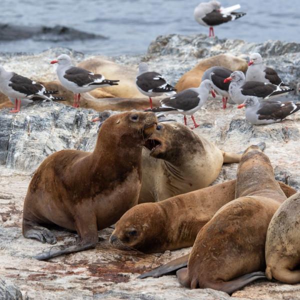 Lions de mer dans la canal de Beagle en Argentine, Bernard Mouricout