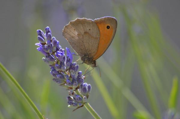Papillon sur la lavande