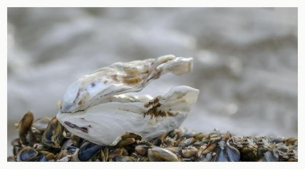 Précieux coquillage (Plisson)