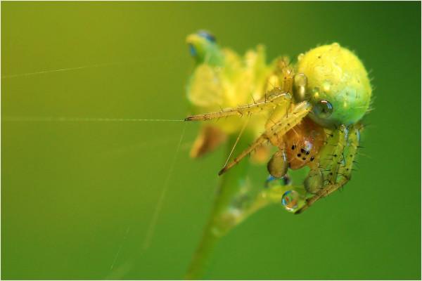 Araignée verte, Bruno Suignard