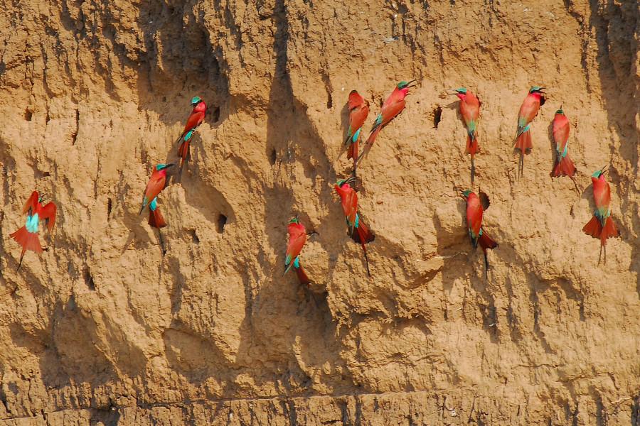 La falaise aux guêpiers carmin