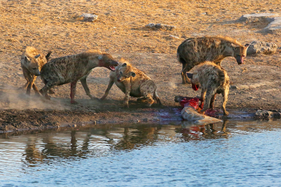 Repas de Hyènes