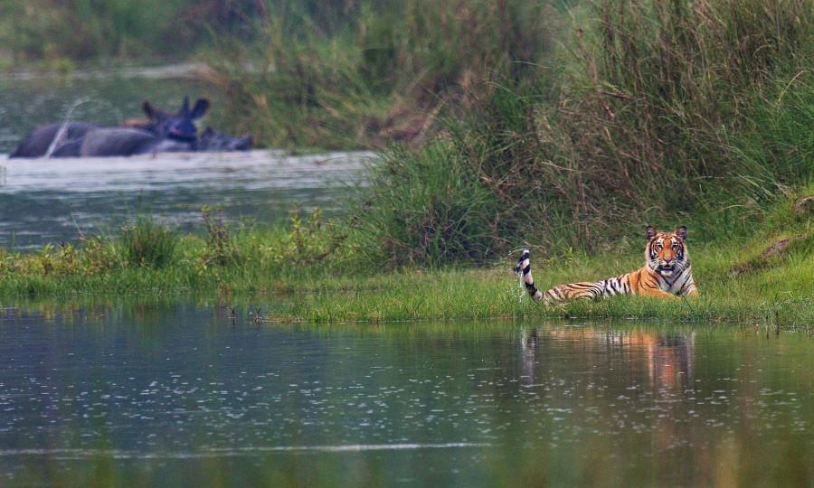 Le tigre et les rhinocéros unicornes