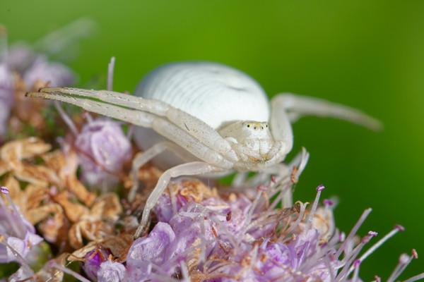 Araignée crabe - P. Perrinaud