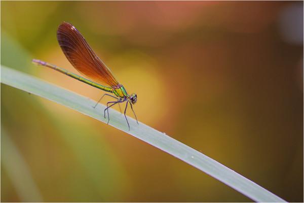 Calopteryx - D. Von Tillmann