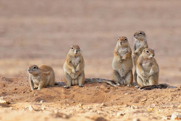 Ecureuils terrestres- P. Perrinaud